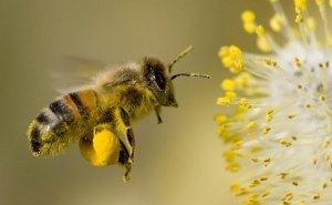 Azərbaycanda olan arı cinsi dünyanın ən yaxşı arısı hesab olunur - FOTO